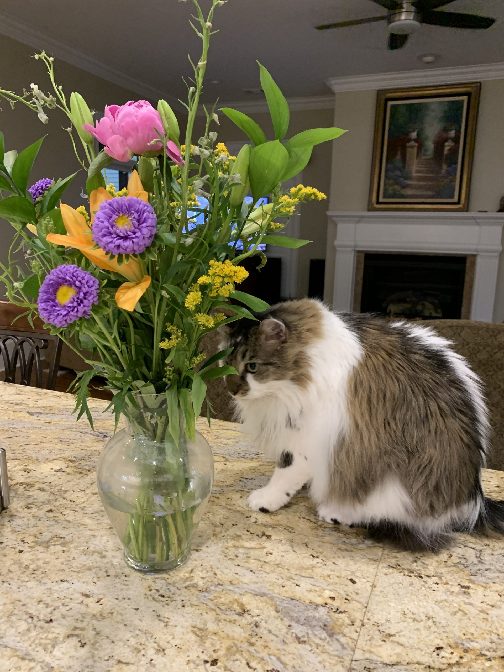 long haired white cat sniffing a bouquet of May flowers